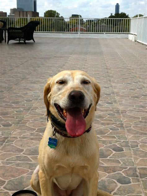 houston dogs houston labrador retriever houston
