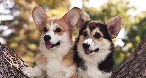Pembroke Welsh Corgi Dog Breed Information - American ...