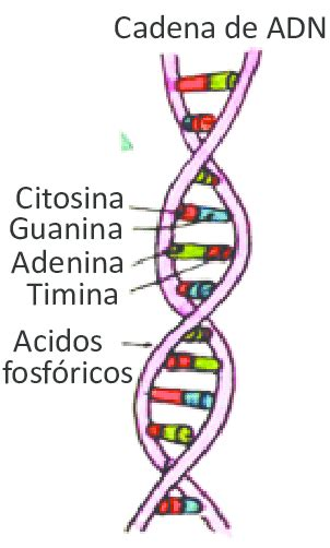 cadena de la adn cadena de adn download scientific diagram