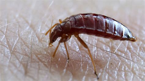 faq can bed bugs jump or fly all about bed bug movement