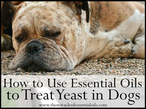 essential oils for itchy dogs 7 essential oils for yeast in dogs the miracle of essential oils