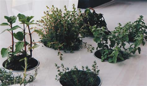 coltivare piante aromatiche in vaso piante aromatiche come coltivarle in casa o sul balcone