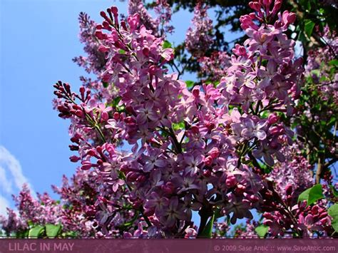 pink and purple tree pink and purple lilac flowers lilac tree in may biceps