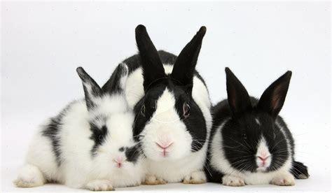 wallpaper hewan hitam putih 16 koleksi gambar hewan kelinci untuk wallpaper