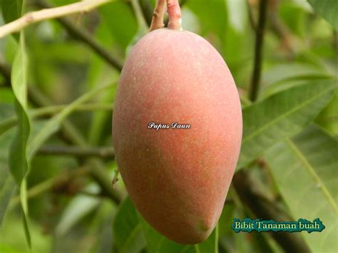 Bibit Mangga Irwin Di Makassar mangga irwin bibit tanaman buah
