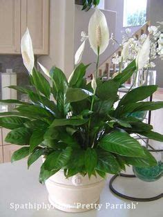 plant health can this peace lily be saved gardening 1000 images about top indoor clean air plants on