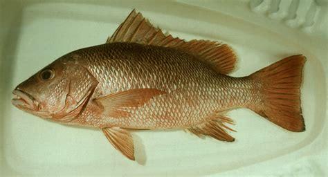 Makanan Ikan Hias Sepat nusantara kuliner aneka ragam masakan khas nusantara
