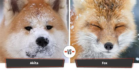 breeds that look like foxes dogs that look like foxes 12 foxy breeds