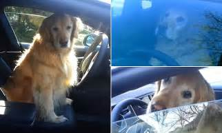 golden retriever driving car driving s to the dogs hilarious moment self driving tesla car backs out the
