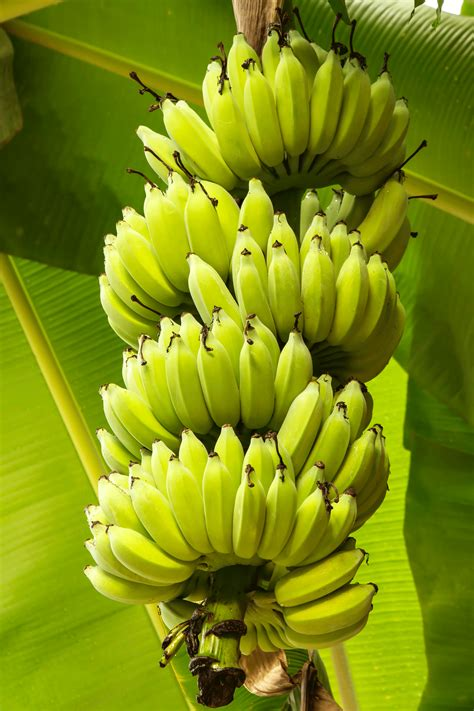 bananas on tree living on earth april 18 2014