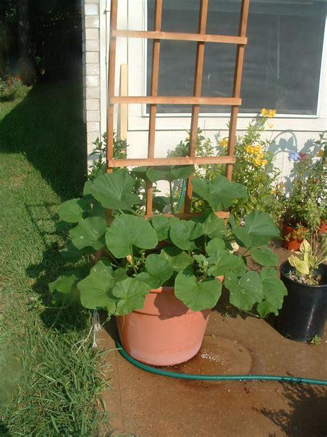 garden update  giii normous butternut squash plant