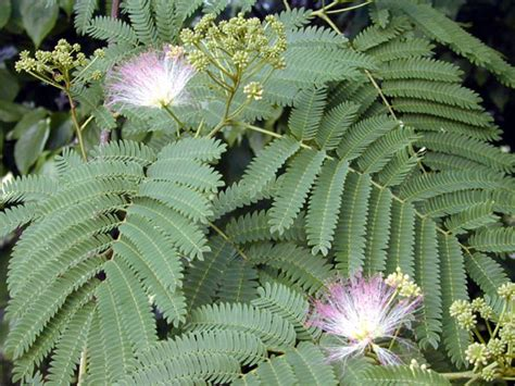 Images Of Trees With Fruits - albizia julibrissin