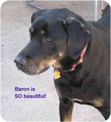 great dane rottweiler mix baron adopted vista ca great dane rottweiler mix