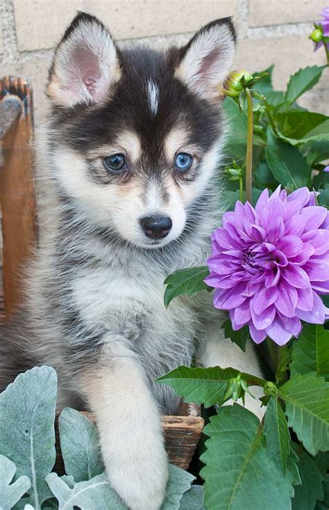 what to get for a puppy pomsky dogs is this the most fashionable breed for 2017