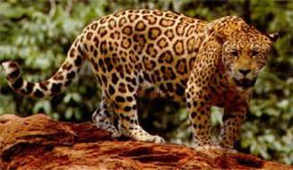 Photo Of Jaguar El Reino Animal Jaguar