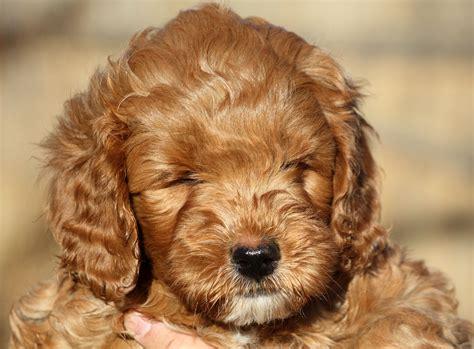 goldendoodle puppies for sale calgary calgary puppies for sale labradoodles for sale