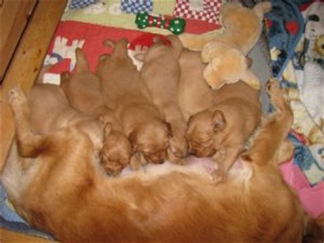 Golden Retriever Dogs For Sale In Alabama Www Proteckmachinery
