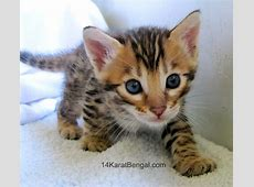 Bengal Kittens for Sale, Healthy, Top Quality Bengal ... Kittens For Sale