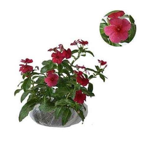 Pupuk Bunga Vinca jual tanaman tapak dara merah import vinca import