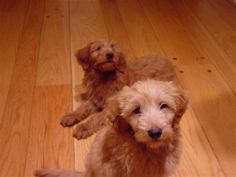 goldendoodle puppy for sale los angeles goldendoodle breeder in los angeles and southern