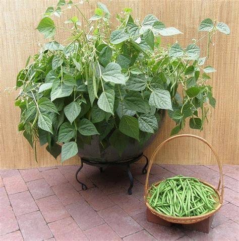container gardening beans 18 best images about new varieties for 2016 on