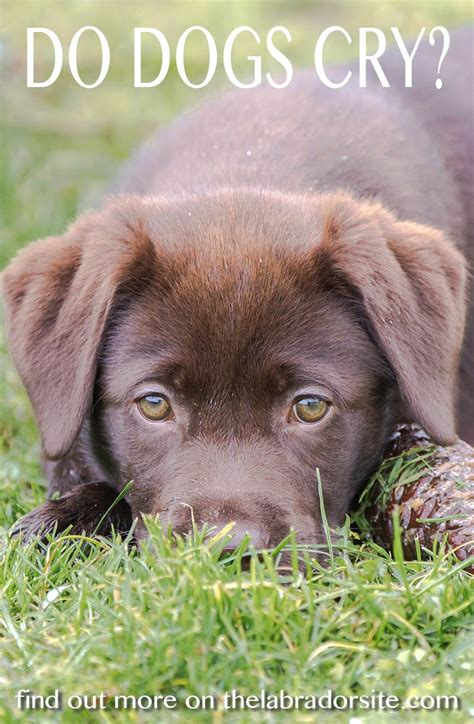 what do you do when your puppy cries at do dogs cry tears and what they the labrador site