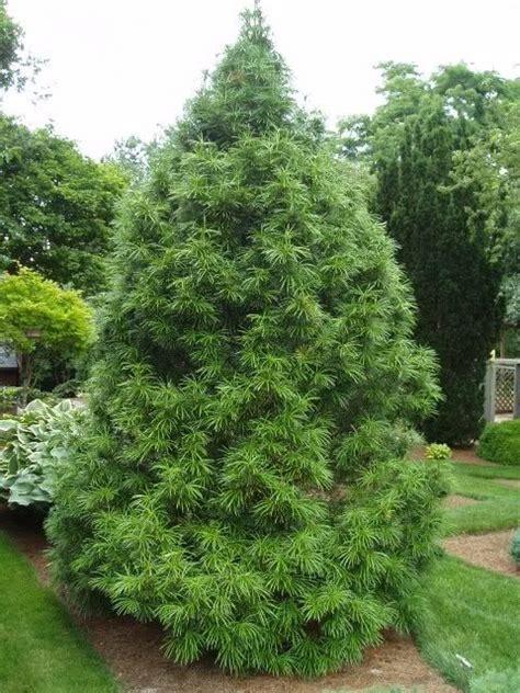 wintergreen umbrella pine tips outdoor ideas pinterest
