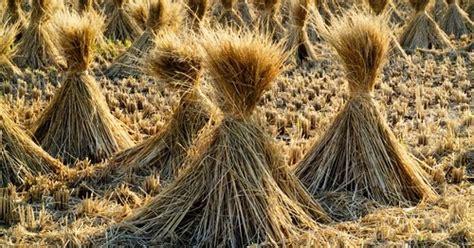 Ragi Untuk Suplemen Pakan Ternak 8 manfaat jerami padi herbamart