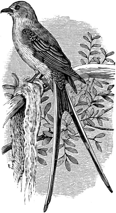 Swallow-tailed Flycatcher | ClipArt ETC