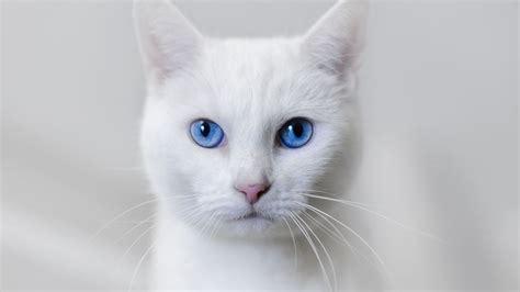 Bibit Eye Cat White white cat blue wallpaper 1920x1080 14554