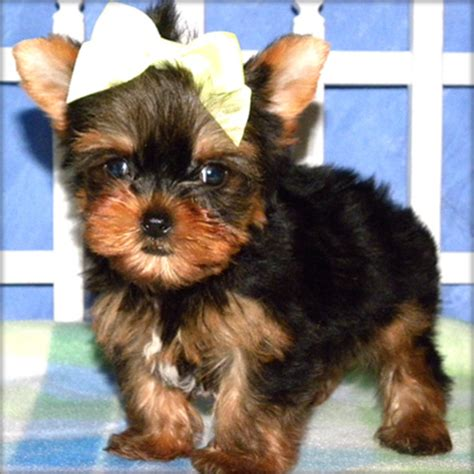 teacup yorkies for sale in denver teacup yorkies available kelowna dogs for sale puppies for sale breeds picture