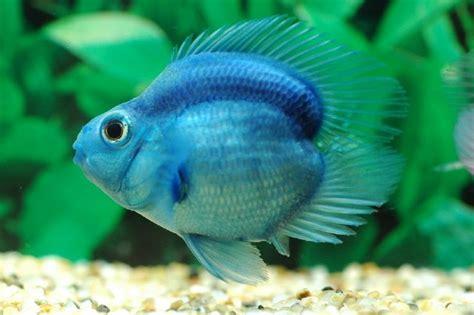 Pewarna Parrot harga ikan parrot asal usul dan cara merawatnya