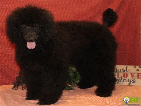 black standard poodle puppies for sale sport standard poodle puppy for sale renowned poodles