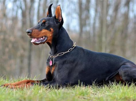 top 10 best guard dogs in the world breeds picture