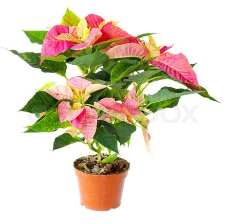 Poinsettia plant isolated against white background   Stock