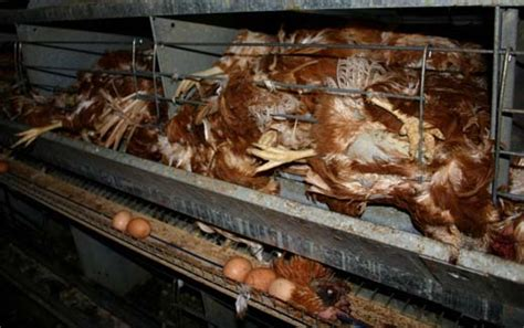 Comfort Care Inc Battery Hen Farm Horror In New Zealand Activists Liberate