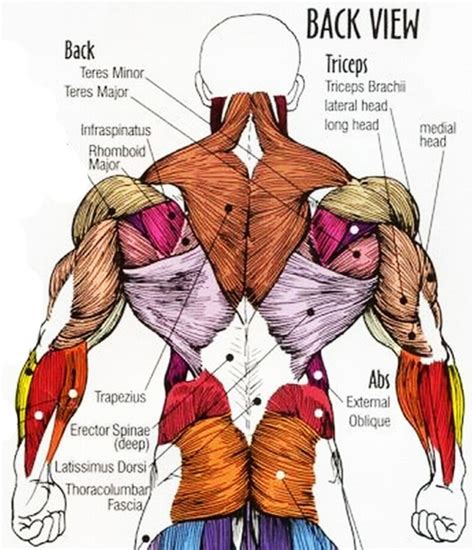 diagram of back muscles anatomy back muscles human anatomy diagram