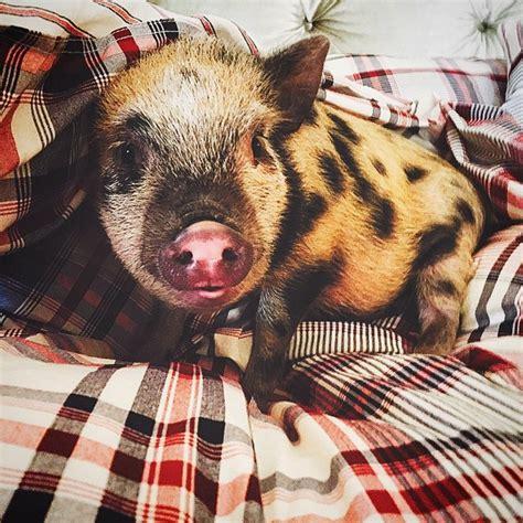 chelsea houska teen mom pig chelsea houska pig pete all the teen moms