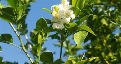 state pictures florida state flower the orange blossom proflowers blog
