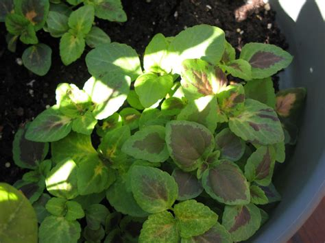 coleus propagation how to plant coleus seed or how to