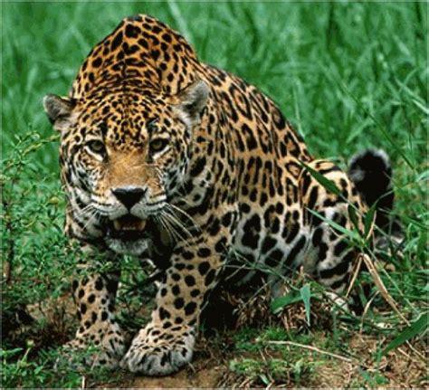 imagenes del jaguar panthera onca ranking de felinos del mundo listas en 20minutos es