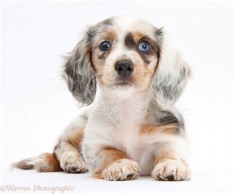 dapple puppies apple dapple dachshund dapple chiweenie puppy dapple dachshund pup animals pet