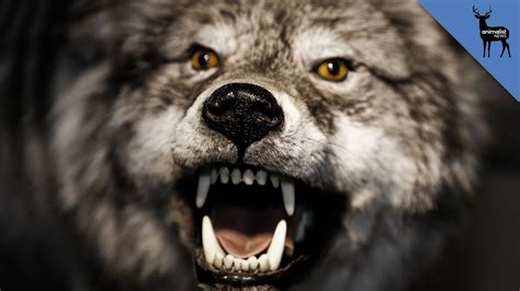 Why Do People Think Werewolves are Real? - YouTube Awesome Pictures Of Werewolves
