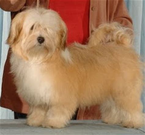 gold havanese gold white ckc 204 havanese fanciers of canada