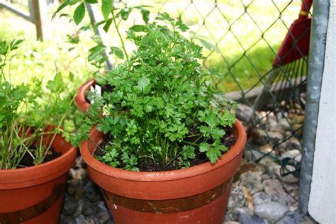 come coltivare il prezzemolo in vaso coltivare il prezzemolo aromatiche come coltivare il