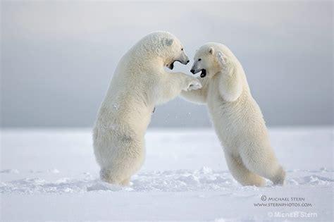 two polar bears in a bathtub polar bears play fighting 2 email october132013 ei