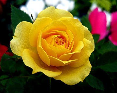 Jual Bibit Bunga Matahari Import jual benih bibit bunga mawar kuning yellow