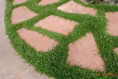 Succulent Garden by Lippia Nodiflora Frogfruit Zona Gardens