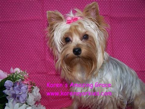 teacup silky yorkie for sale karens yorkies yorkie puppies for sale yorky breeder we many yorkies for sale