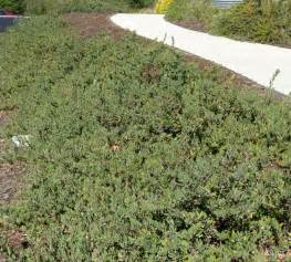 california native plant ground cover plants